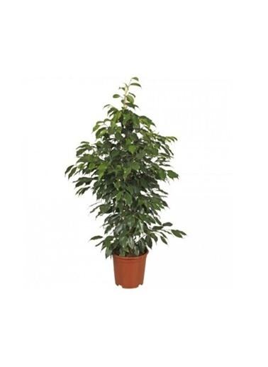 Çiçek Antalya Çiçek Antalya Benjamin Bitkisi Ficus Benjamina 80 Cm Ev Ofis Bitkisi Yeşil